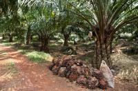 Oil Palm Harvest at Pasoh, Malaysia