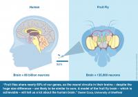 Human and Fruit Fly Brain Comparison