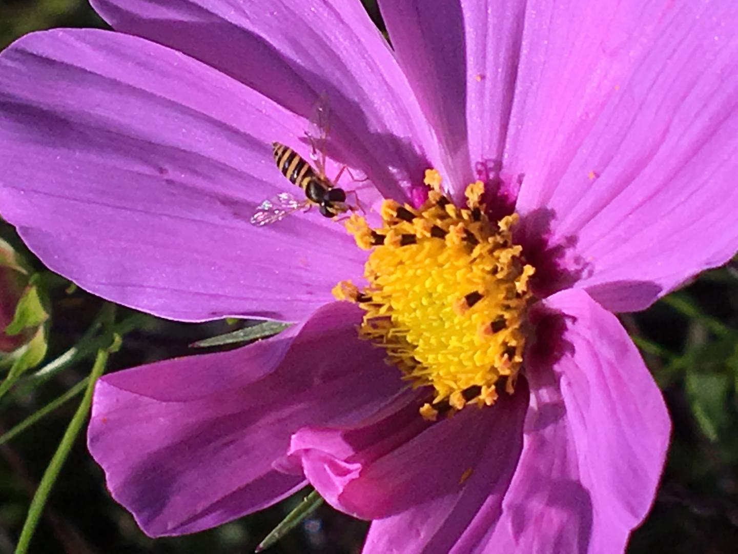 Syrphid Fly on a Flower