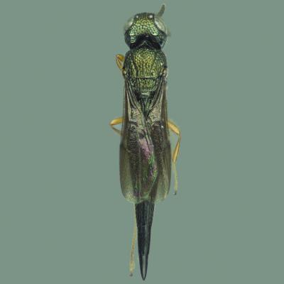 <i>Oxyscelio greenacus</i>
