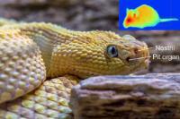 Pit viper & heat vision