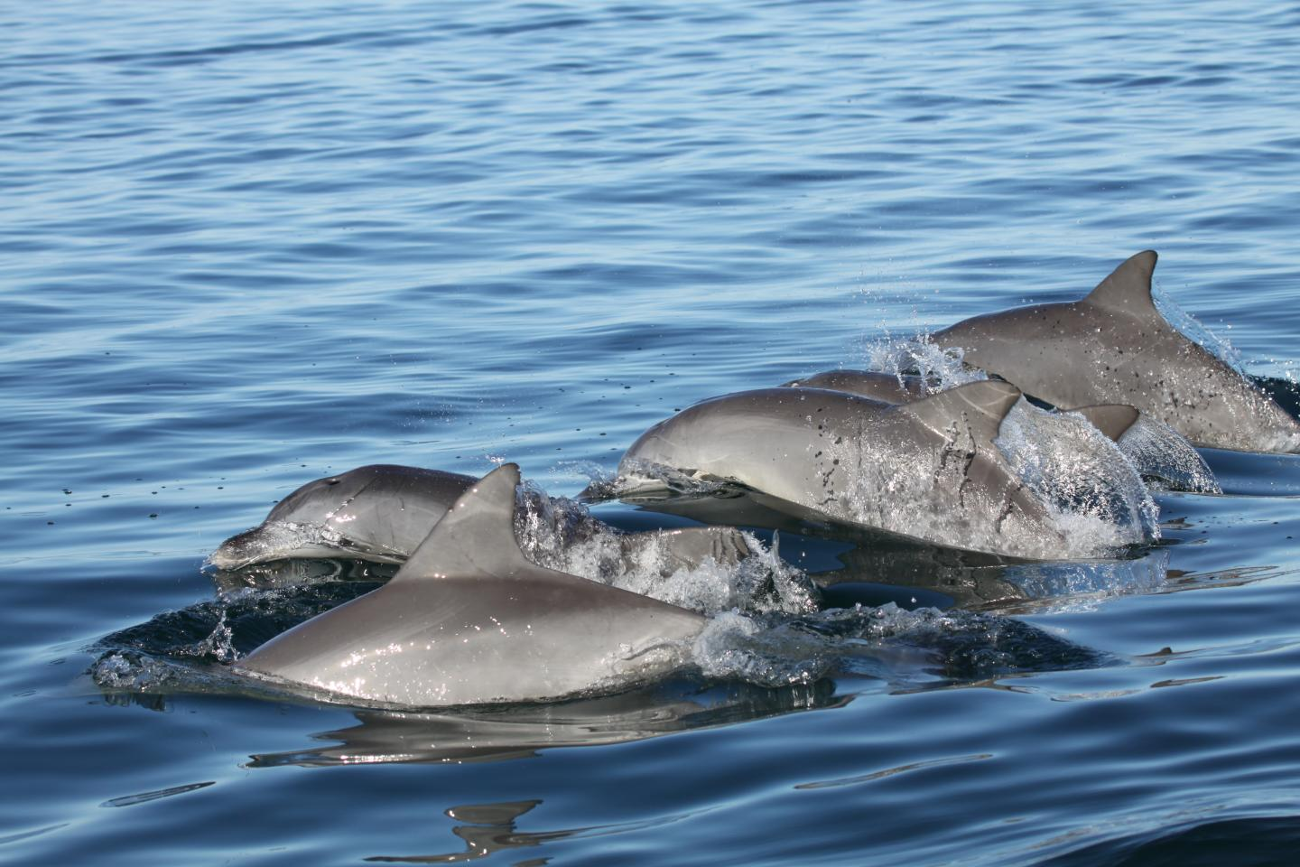 Strategic networking, dolphin-style