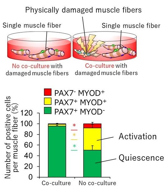 Satellite cells are activated by components leaking from damaged muscle fibers