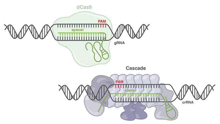 dCas9 and Cascade Comparison