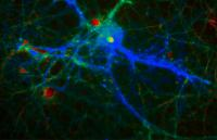 Calcium Levels within a Neuron