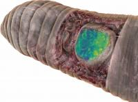 Microtomography-Based 3D Model of the Anterior End of An Earthworm