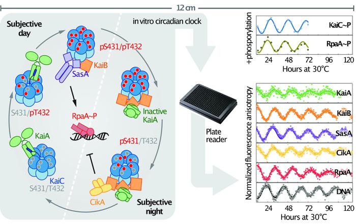 Illustration of in vitro circadian clock