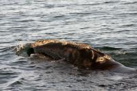 North Atlantic Right Whale at Surface