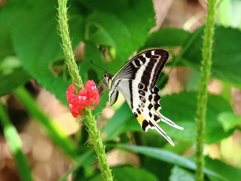 Natewa Swallowtail (<i>Papilio natewa</i>) (1 of 2)