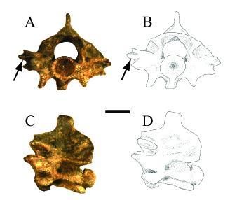 Zilantophis Vertebrae