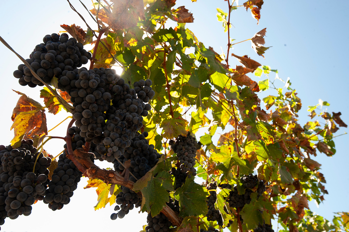 Photo of wine grapes