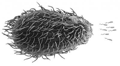Photo Illustration of Protist Pursuing <i>E. coli</i>