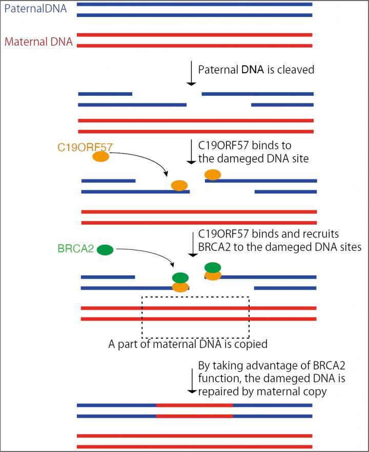 Mechanism of DNA Damage Repair during Meiotic Recombination