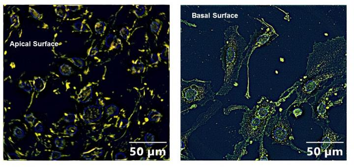 Epithelial cells exposed to organophosphates