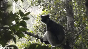 Researchers from the universities of Turin, Lyon/Saint-Étienne and the Max Planck Institute for Psycholinguistics in Nijmegen studied indris, the 'singing primates' from Madagascar