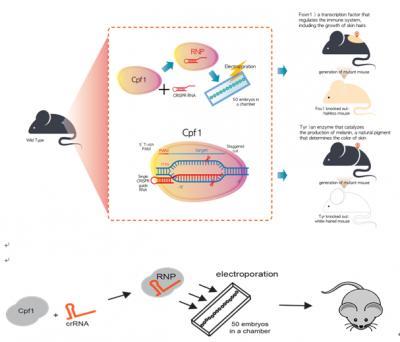 CRISPR Cpf1-Mediated Mutant Mouse