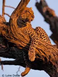 A Leopard Rests on a Tree Limb