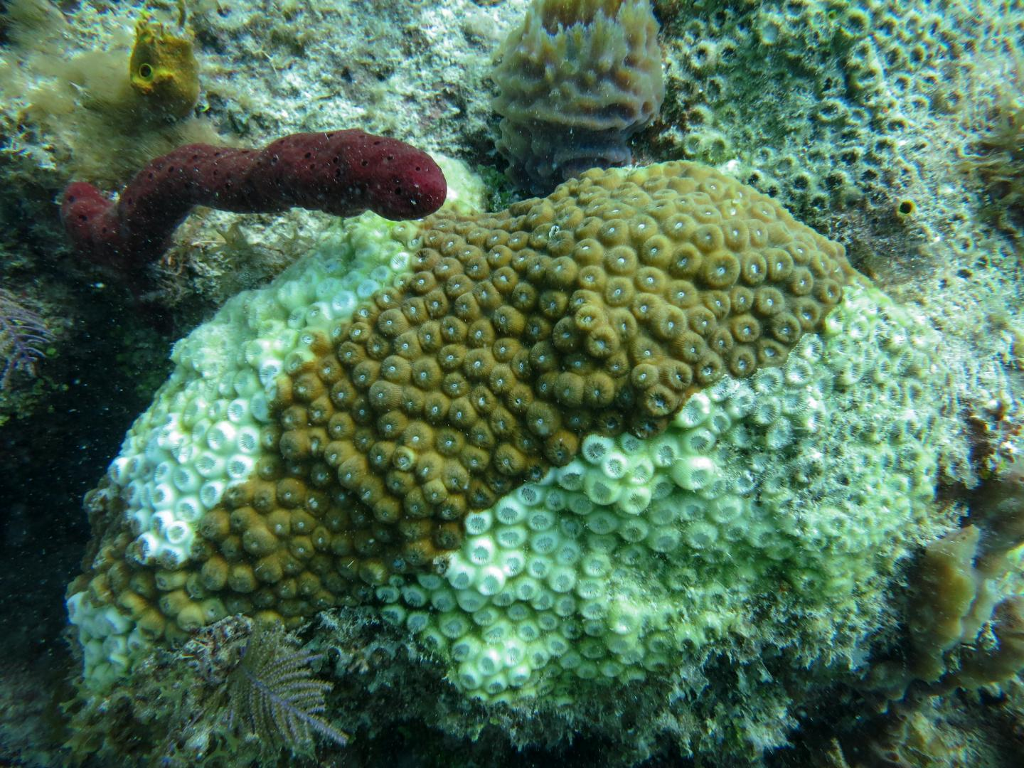 Study Finds Genes Role in Immune Response of Florida Corals to Rapidly Spreading Disease