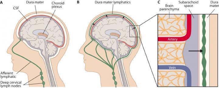 Novel Lymphatic Vessel Network
