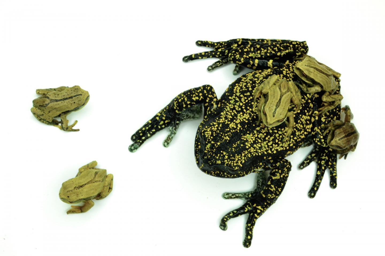 Helena's Marsupial Frog, <i>Gastrotheca helenae</i>